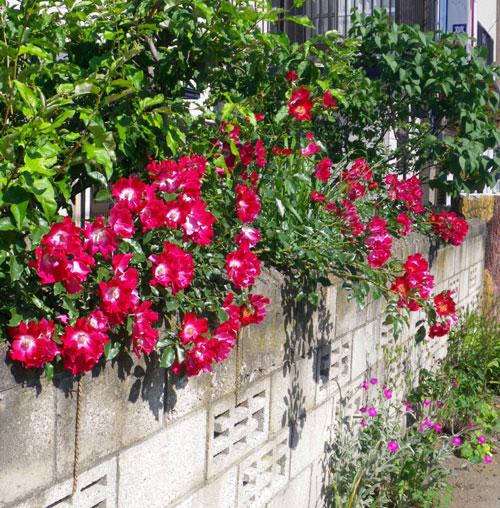 庭の古株二つと、楽しいもの二つ♪_a0136293_1921017.jpg