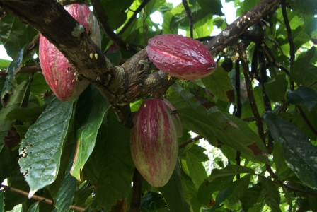 パプアニューギニア産カカオ豆(生豆/トリニタリオ種)の販売開始いたしまし... 生豆) 販売開始