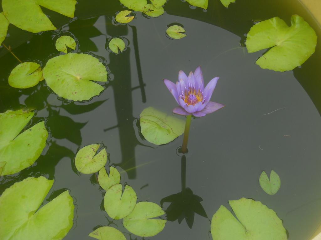 睡蓮の花咲く_f0146802_802181.jpg