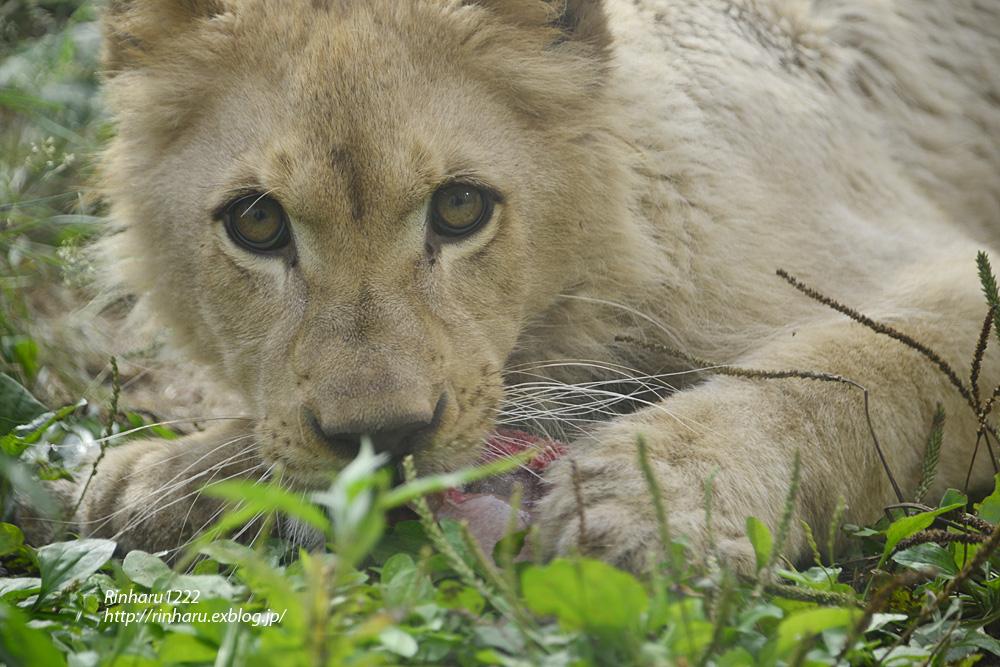 2013.6.23 伊豆アニマルキングダム☆ホワイトライオンのパール【White Lion】_f0250322_2125583.jpg