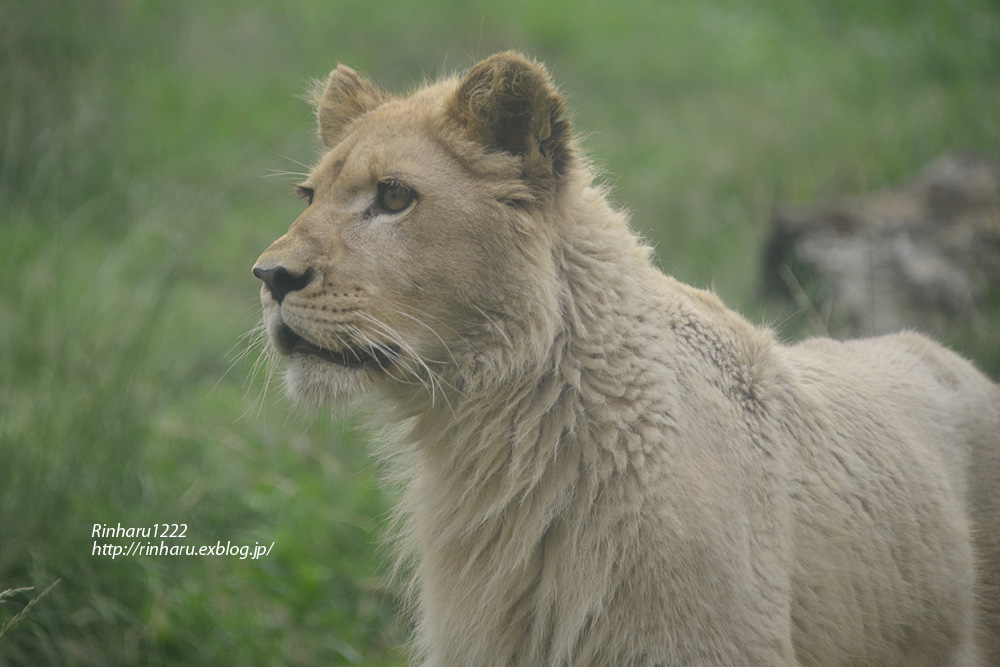 2013.6.23 伊豆アニマルキングダム☆ホワイトライオンのパール【White Lion】_f0250322_2126051.jpg