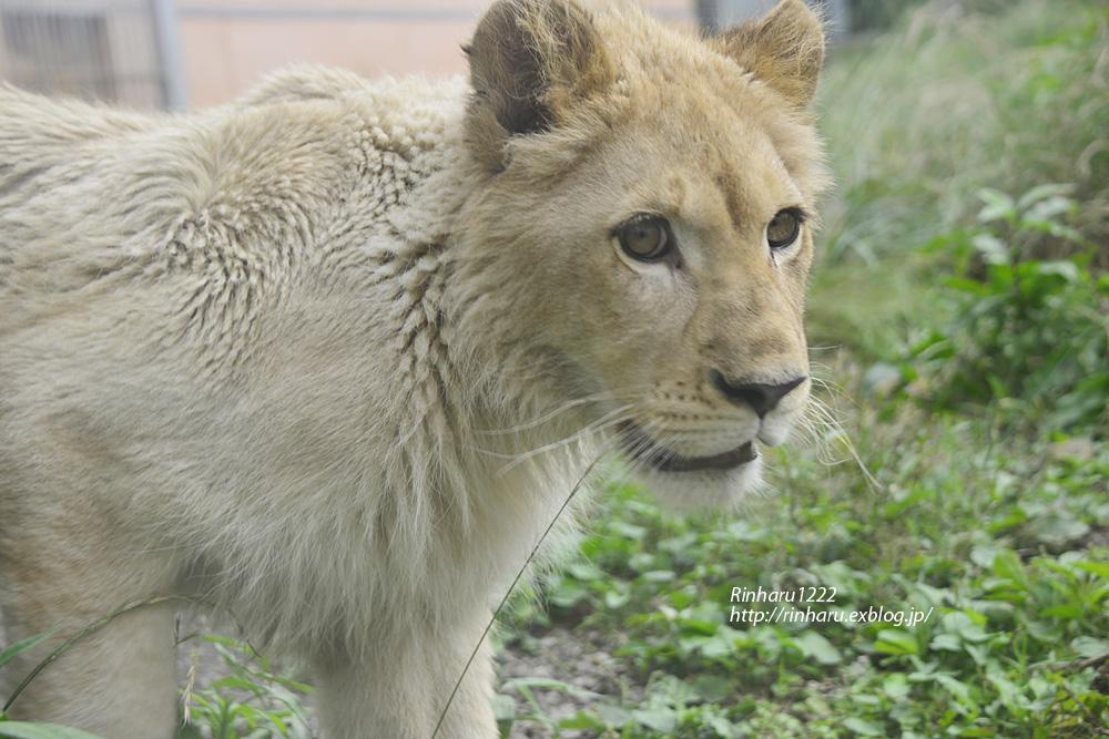 2013.6.23 伊豆アニマルキングダム☆ホワイトライオンのパール【White Lion】_f0250322_2127548.jpg