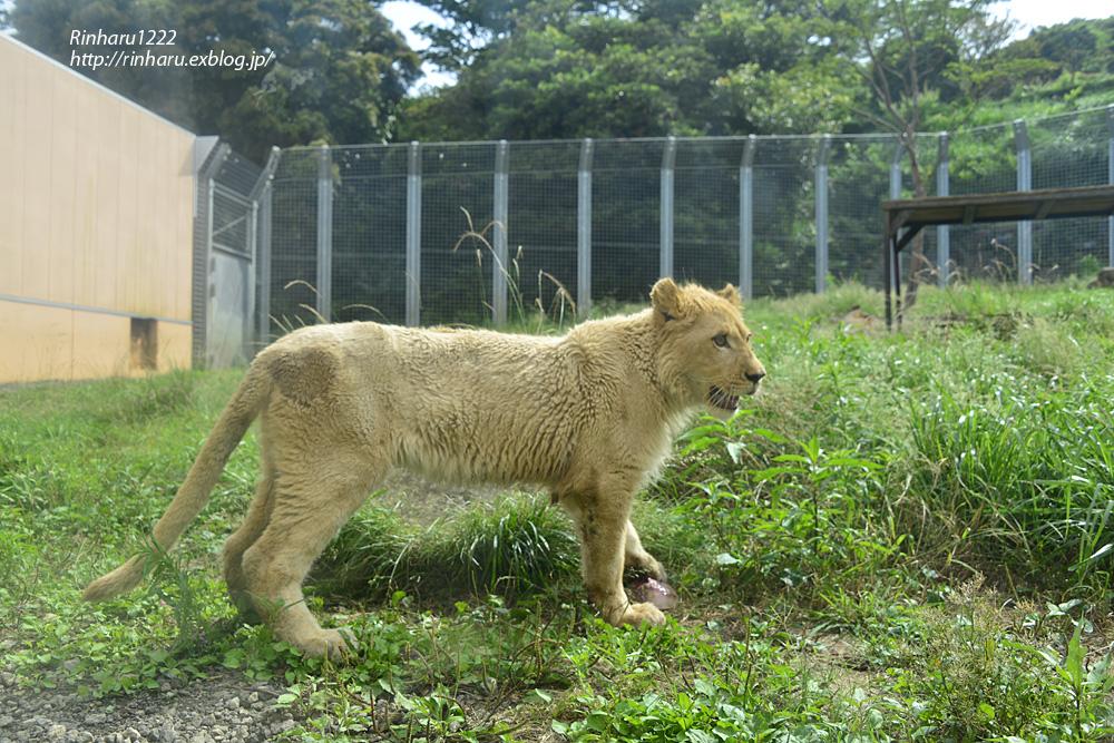 2013.6.23 伊豆アニマルキングダム☆ホワイトライオンのパール【White Lion】_f0250322_2130965.jpg