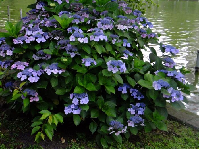 池の端の紫陽花_f0055131_19395881.jpg