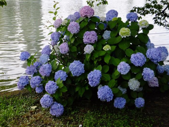 池の端の紫陽花_f0055131_1940580.jpg