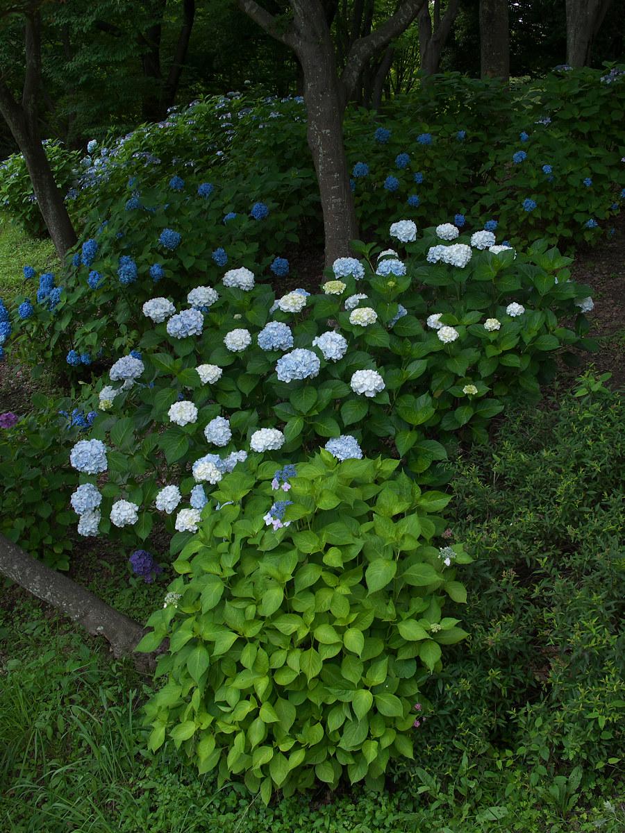 紫陽花 2013 <山田池公園> _f0021869_2219152.jpg