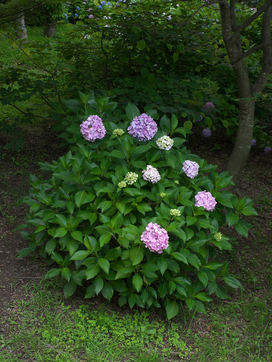 紫陽花 2013 <山田池公園> _f0021869_22193091.jpg