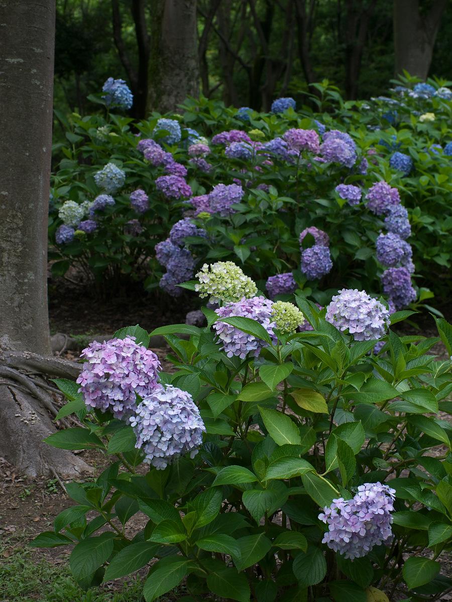 紫陽花 2013 <山田池公園> _f0021869_22203337.jpg