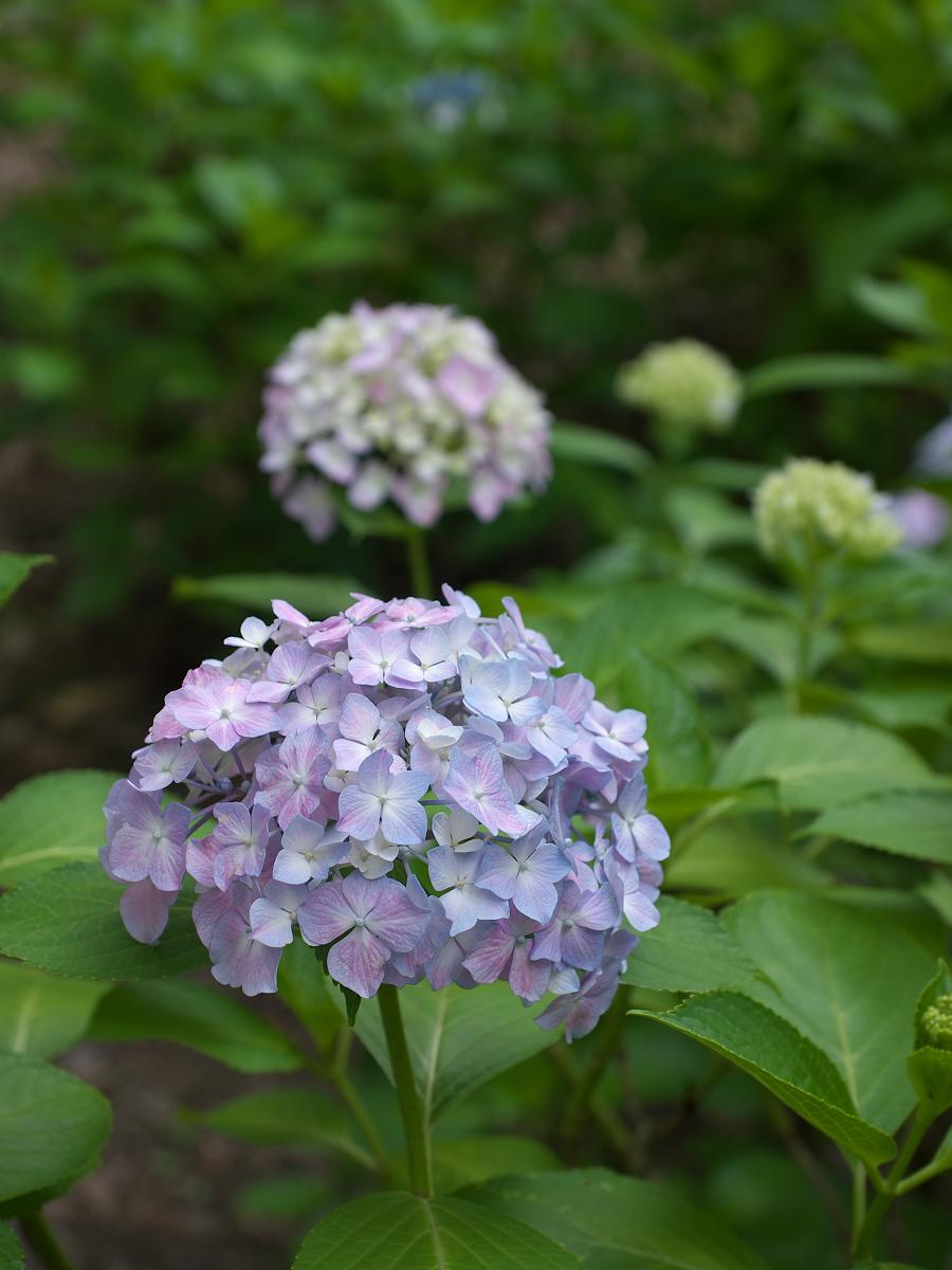 紫陽花 2013 <山田池公園> _f0021869_22205468.jpg