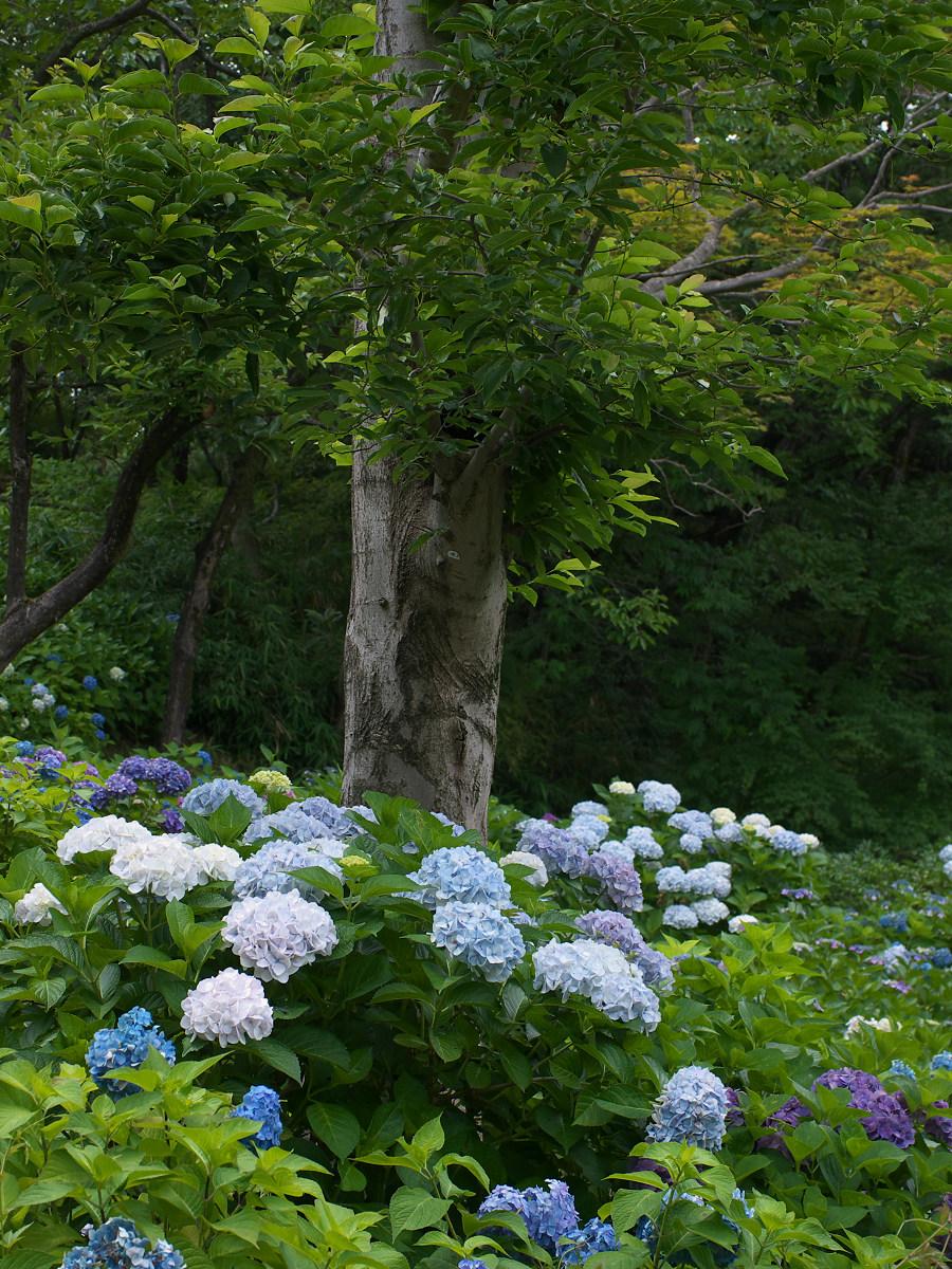 紫陽花 2013 <山田池公園> _f0021869_2220625.jpg