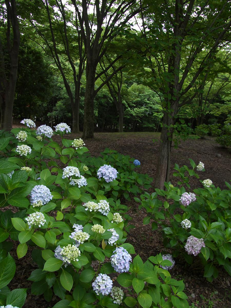 紫陽花 2013 <山田池公園> _f0021869_2221107.jpg