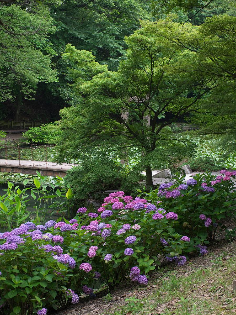紫陽花 2013 <山田池公園> _f0021869_22213382.jpg