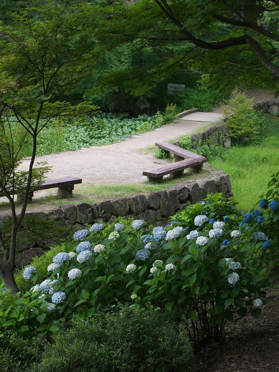 紫陽花 2013 <山田池公園> _f0021869_2221434.jpg