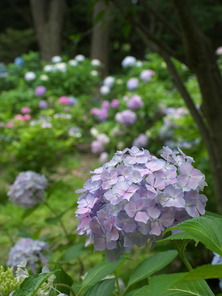 紫陽花 2013 <山田池公園> _f0021869_2221642.jpg