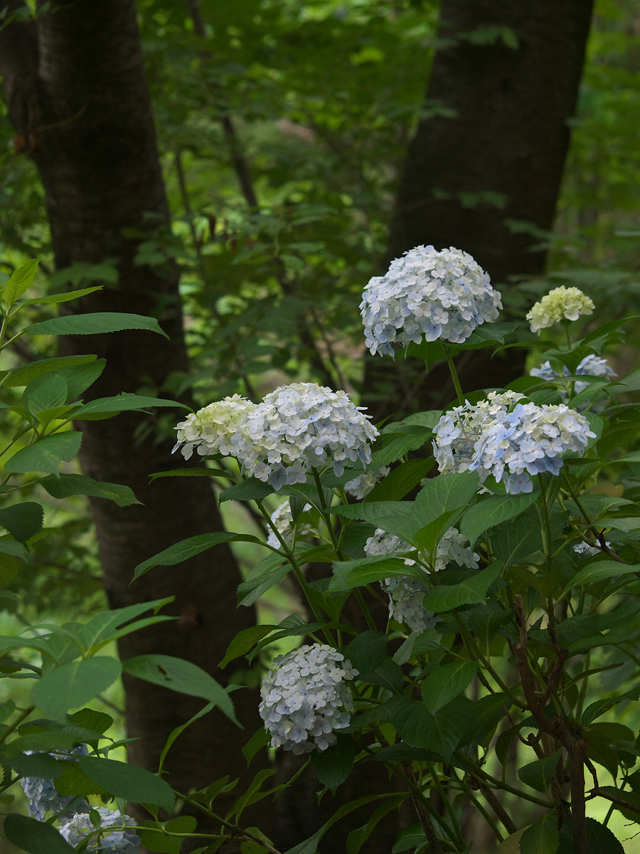 紫陽花 2013 <山田池公園> _f0021869_22221646.jpg