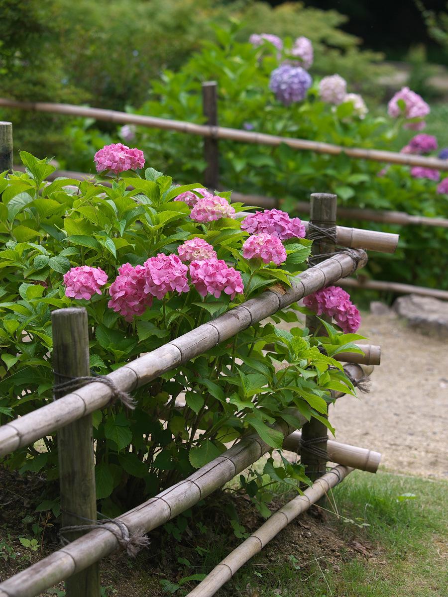 紫陽花 2013 <山田池公園> _f0021869_22222056.jpg