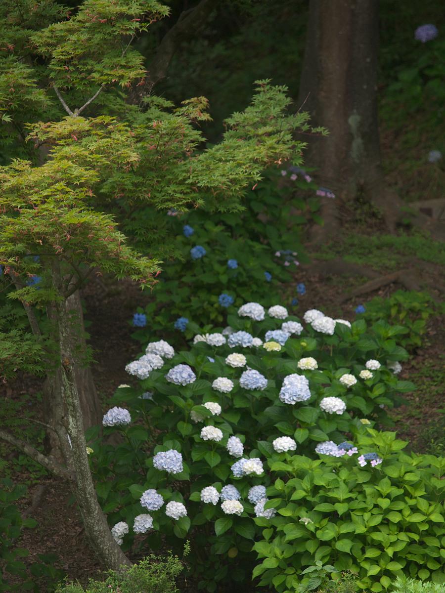 紫陽花 2013 <山田池公園> _f0021869_22223582.jpg