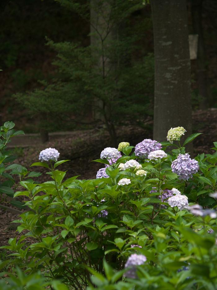紫陽花 2013 <山田池公園> _f0021869_22232387.jpg