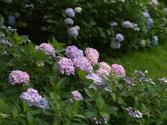 紫陽花 2013 <山田池公園> _f0021869_22242398.jpg