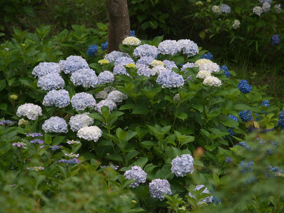 紫陽花 2013 <山田池公園> _f0021869_22244059.jpg