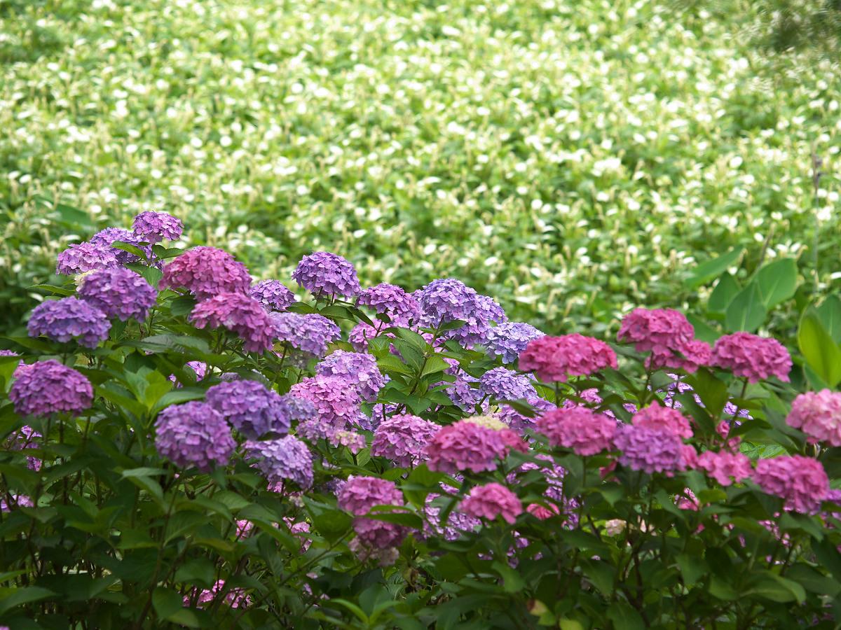 紫陽花 2013 <山田池公園> _f0021869_22245228.jpg