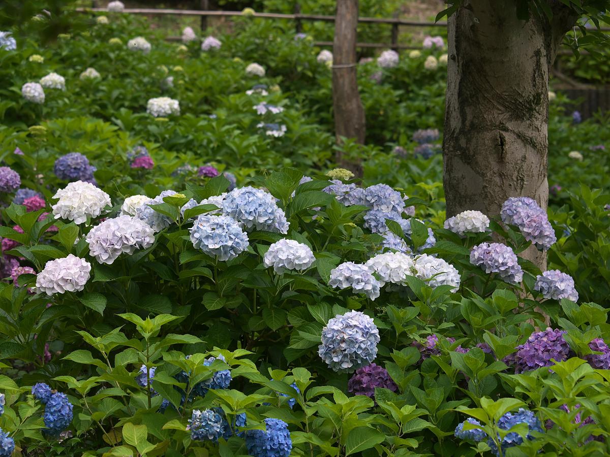 紫陽花 2013 <山田池公園> _f0021869_22245739.jpg