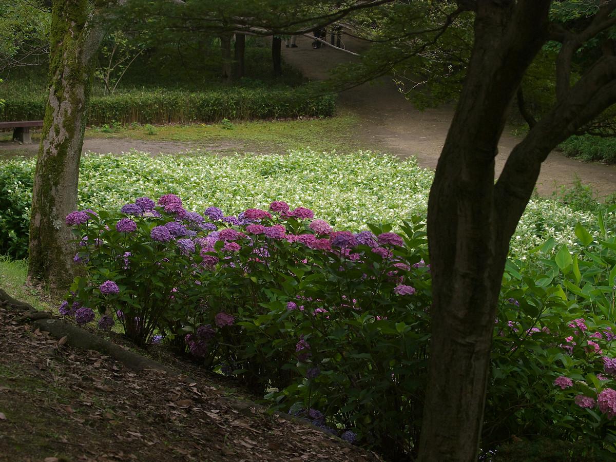 紫陽花 2013 <山田池公園> _f0021869_2224588.jpg