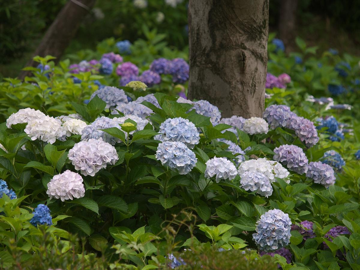 紫陽花 2013 <山田池公園> _f0021869_22254737.jpg