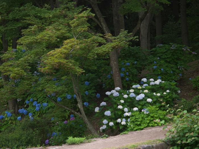 紫陽花 2013 <山田池公園> _f0021869_22261712.jpg