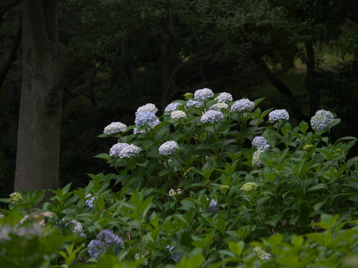 紫陽花 2013 <山田池公園> _f0021869_22262174.jpg