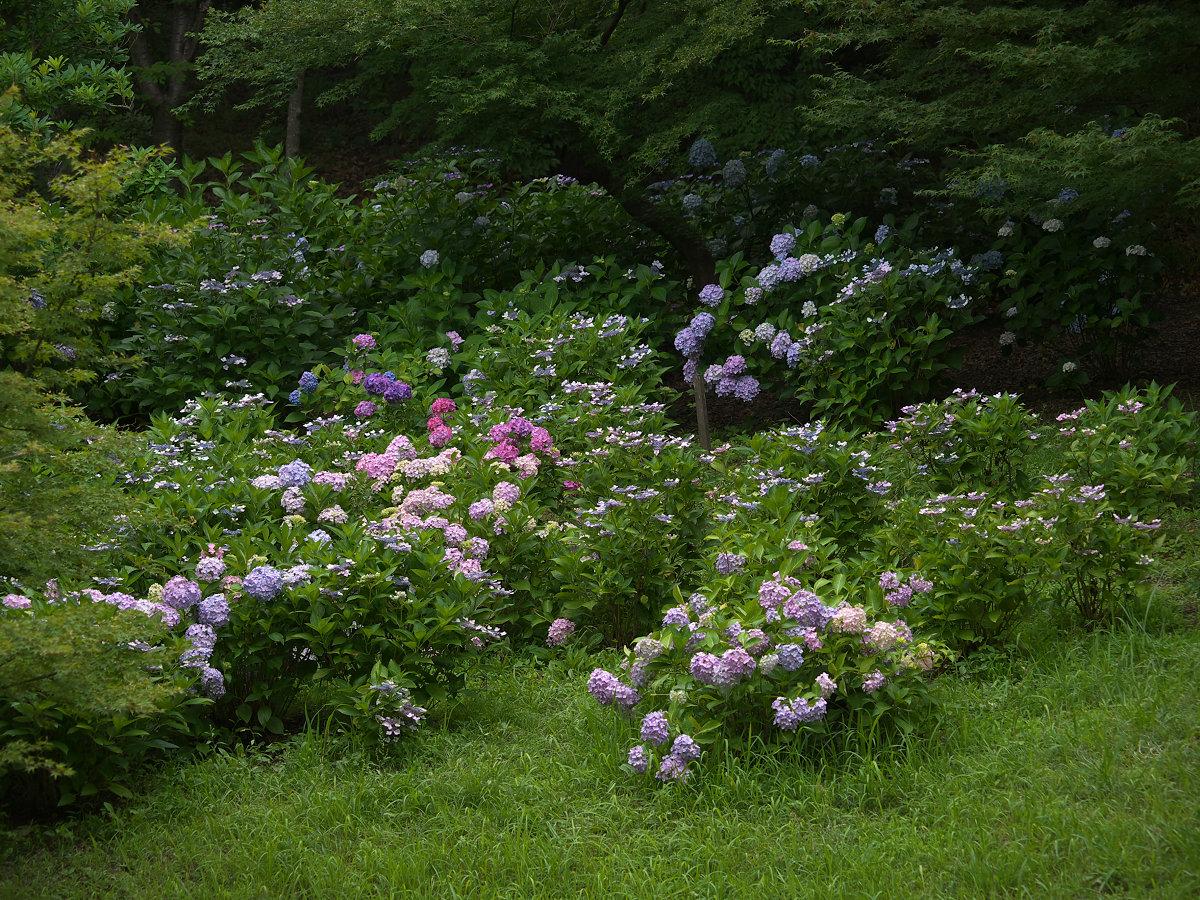 紫陽花 2013 <山田池公園> _f0021869_222745.jpg