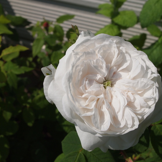 オールドローズ、咲いてます。_a0292194_2005753.jpg