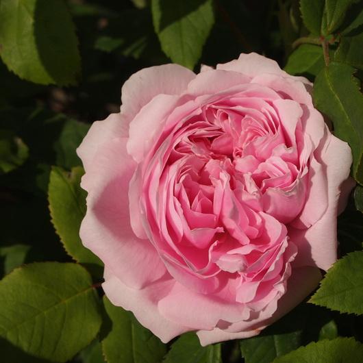オールドローズ、咲いてます。_a0292194_20102146.jpg
