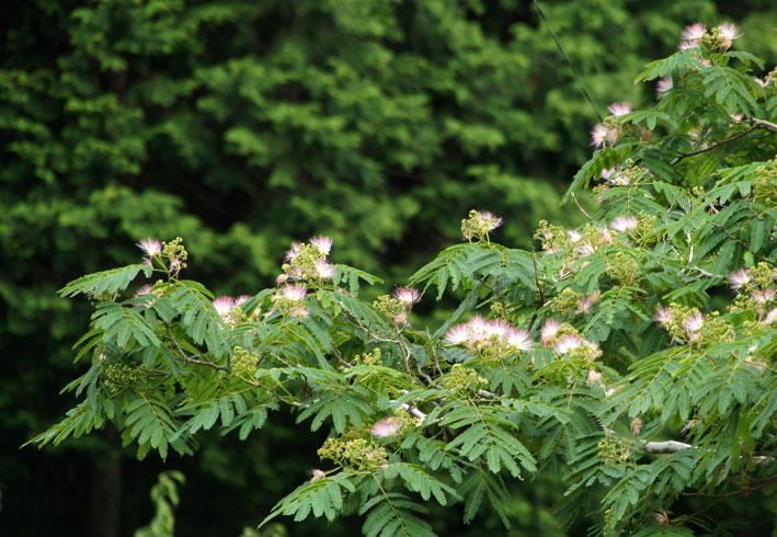 ネムの木も花盛り_b0145296_951030.jpg
