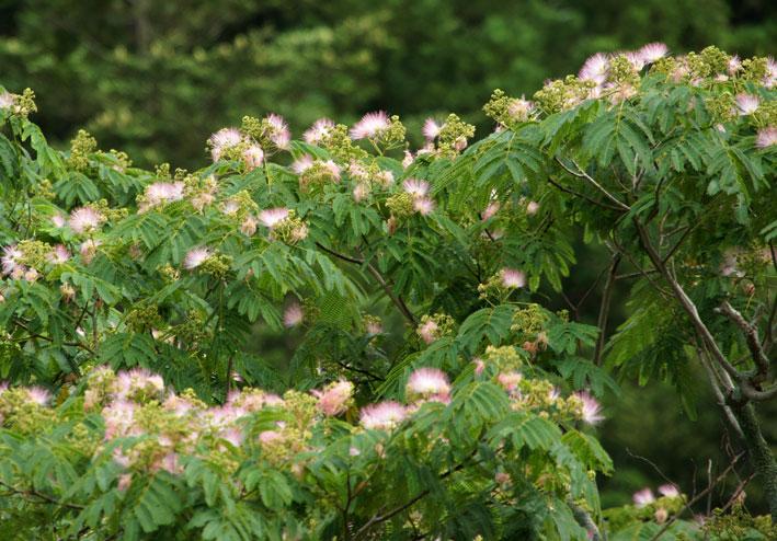 ネムの木も花盛り_b0145296_95314.jpg