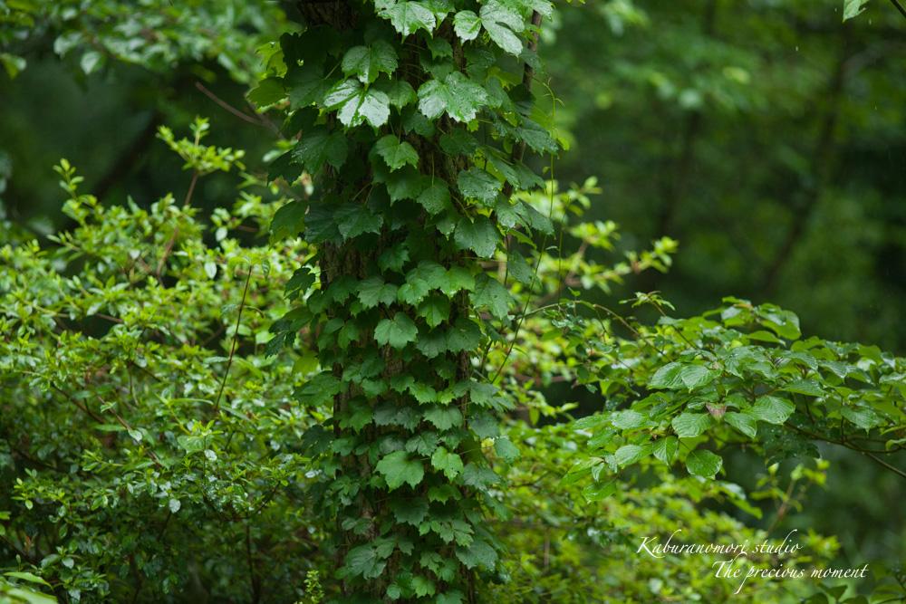 梅雨に打たれて緑増す_c0137403_18174317.jpg