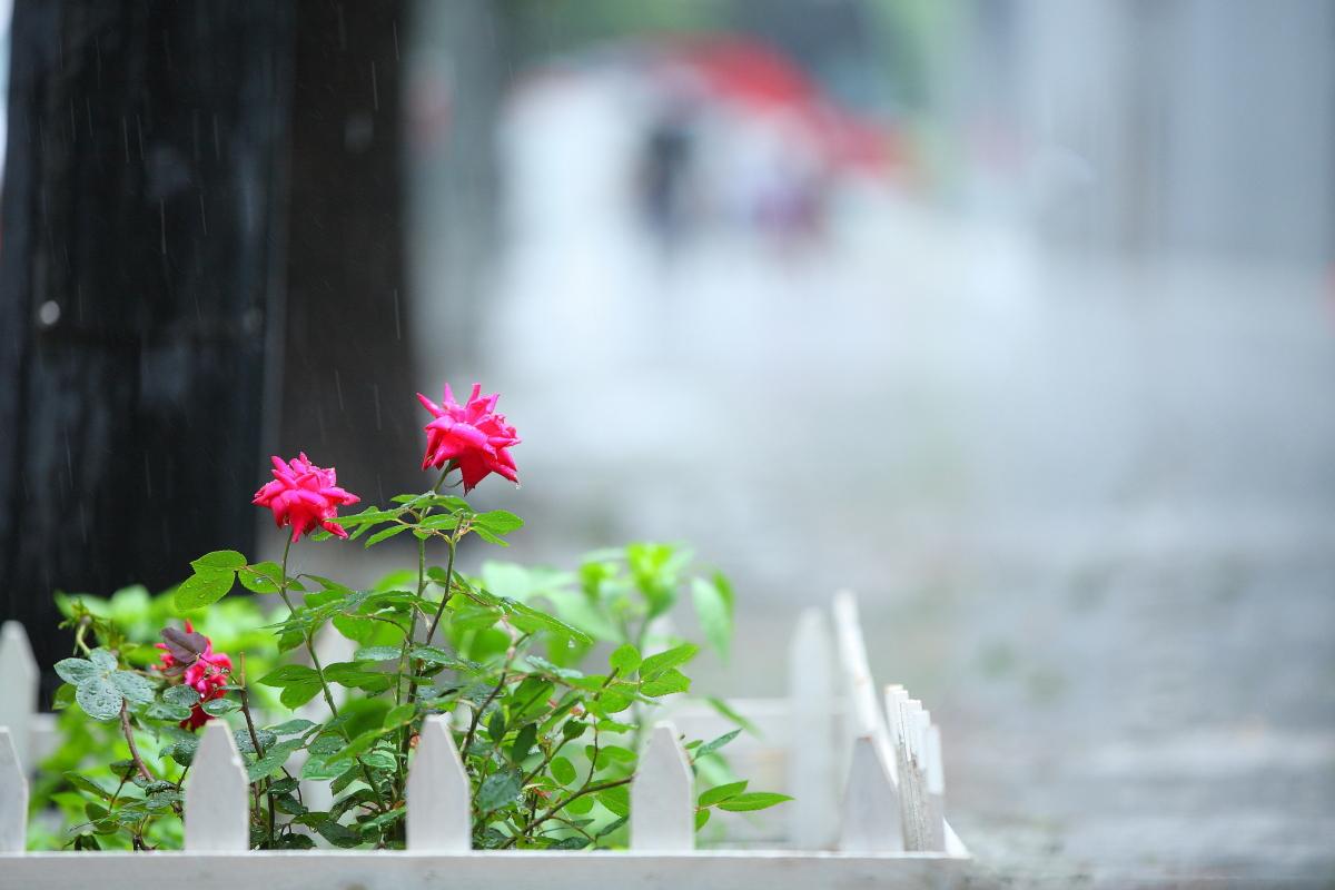 薔薇、二輪_a0274805_13503682.jpg