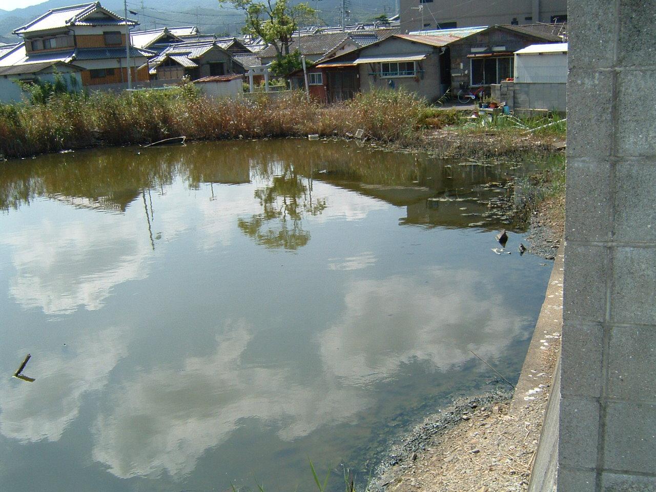 淡輪漁港池のメダカ_c0239329_1646718.jpg