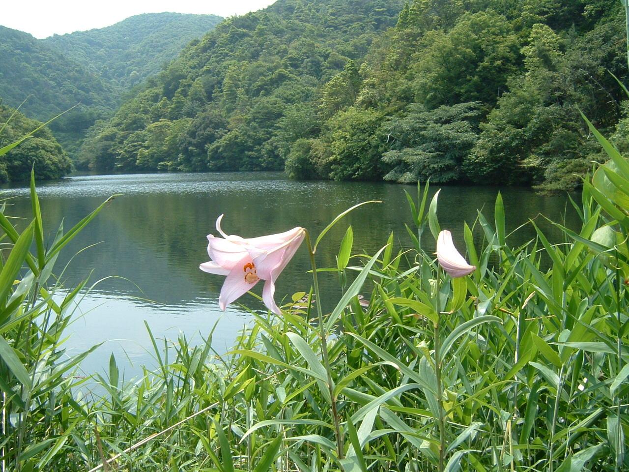 沢池のササユリ_c0239329_16522029.jpg