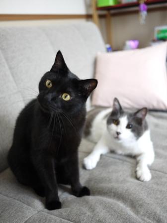 猫のお友だち ララくんショコラくん編。_a0143140_18204484.jpg