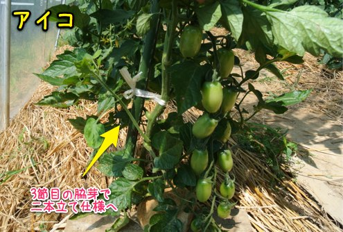 トマトはまだ青い_c0063348_5143417.jpg