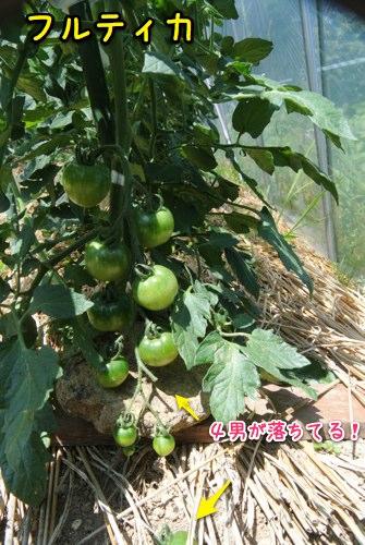 トマトはまだ青い_c0063348_514544.jpg