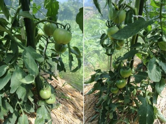 トマトはまだ青い_c0063348_5145493.jpg