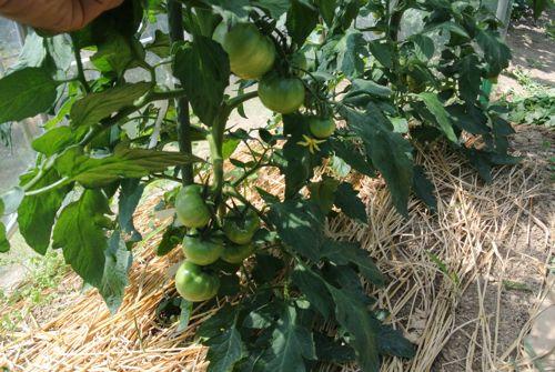 トマトはまだ青い_c0063348_5145955.jpg