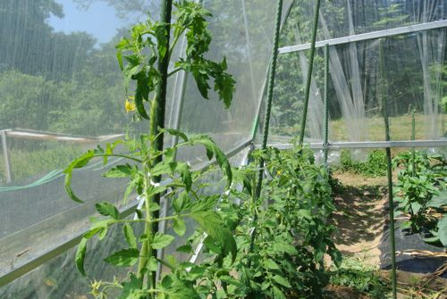 トマトはまだ青い_c0063348_5151992.jpg