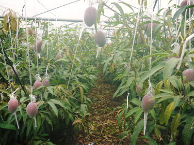 樹上完熟アップルマンゴー 煌(きらめき)の収穫!!_a0254656_18192475.jpg