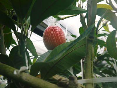樹上完熟アップルマンゴー 煌(きらめき)の収穫!!_a0254656_18391882.jpg
