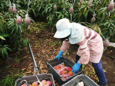 樹上完熟アップルマンゴー 煌(きらめき)の収穫!!_a0254656_1914997.jpg