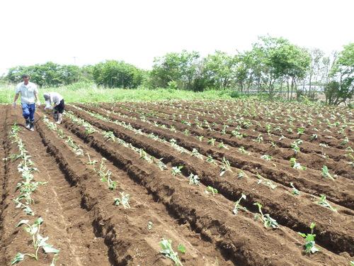 さつま芋の苗を植え付け★_c0214657_1401637.jpg