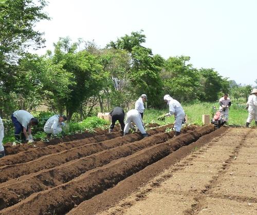 さつま芋の苗を植え付け★_c0214657_1405584.jpg